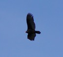030903-78_vulture